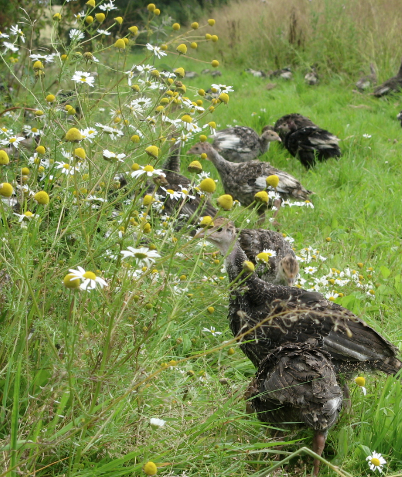 Organic free range bronze young turkeys foraging amongst the wildflowers